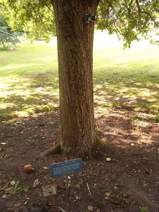 640px-Newton's_tree,_Botanic_Gardens,_Cambridge